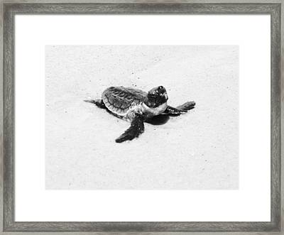 Baby Sea Turtle  Framed Print by Lillie Wilde