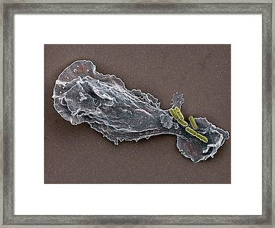 Bacteria And Neutrophil Cell, Sem Framed Print by