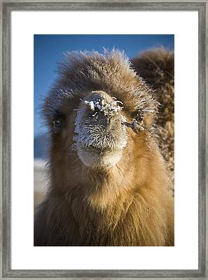 Bactrian Camel Camelus Bactrianus Framed Print by David DuChemin