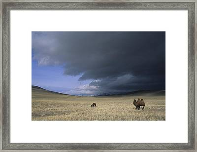 Bactrian Camels In Bayan-ulgii,mongolia Framed Print by David Edwards