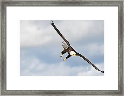 Bald Eagle Framed Print by Brandon Broderick