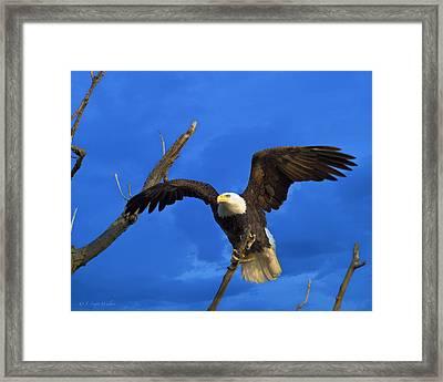 Bald Eagle Landing Framed Print by J Larry Walker