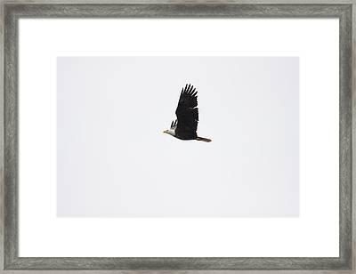 Bald Eagle One Framed Print by Josh Whalen