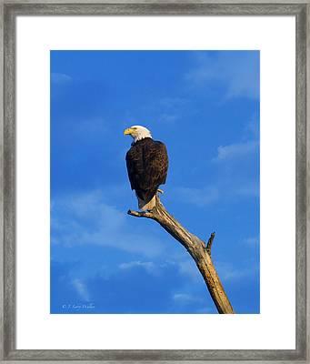 Bald Eagle Sitting High Framed Print by J Larry Walker