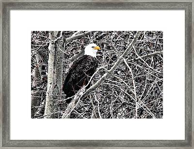 Bald Eagle Watches Framed Print by Don Mann