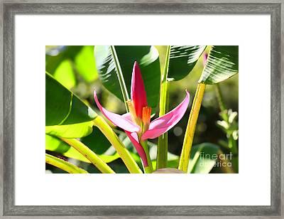 Banana Bloom Framed Print by Cheryl Young