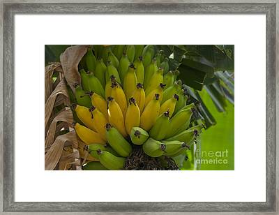 Banana Framed Print by Sharon Mau