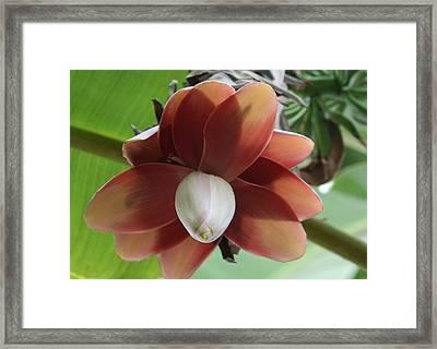 Banana Tree Blossom Framed Print by Valia Bradshaw