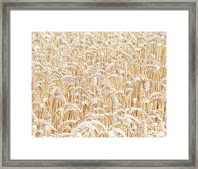 Barley Framed Print by Gail Shotlander