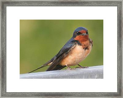 Barn Swallow Framed Print by Laurel Talabere