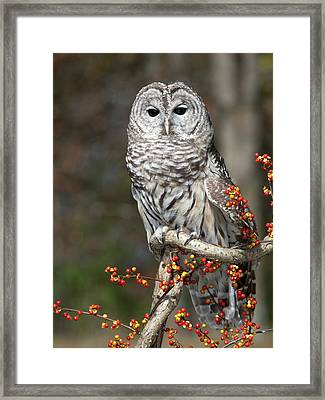 Barred Owl And Bittersweet Framed Print by Cindy Lindow