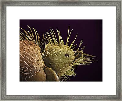 Bat Fly Head, Sem Framed Print by Steve Gschmeissner