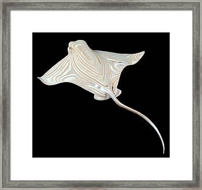 Bat Ray Framed Print by Kjell Vistnes