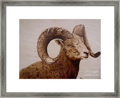 Battle Scarred Big Horn Ram Framed Print by Adam Owen