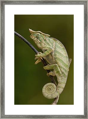 Baudriers Chameleon Furcifer Balteatus Framed Print by Pete Oxford