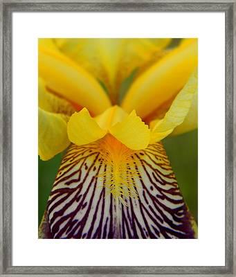 Bearded Iris Framed Print by Mark J Seefeldt