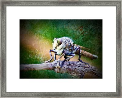 Bearded Robber Fly Framed Print by Barry Jones