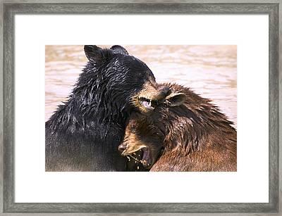 Bears In Water Framed Print by Carson Ganci