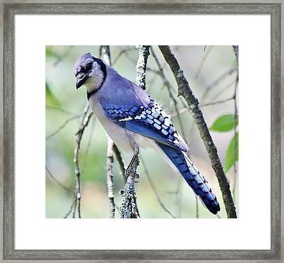 Beautiful Blue Jay Framed Print by Paulette Thomas