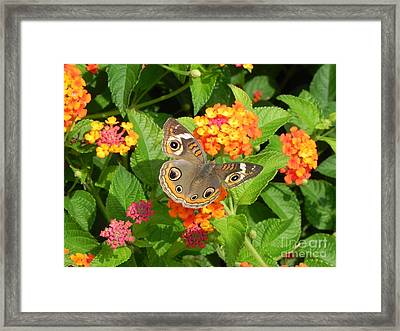 Beautiful Butterfly Framed Print by Sandy Owens
