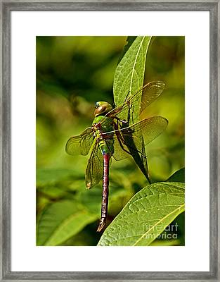 Beautiful Exotic Iridescent Dragonfly On A Leaf In The Forest Framed Print by Inspired Nature Photography Fine Art Photography