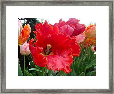 Beautiful From Inside And Out - Parrot Tulips In Philadelphia Framed Print by Mother Nature