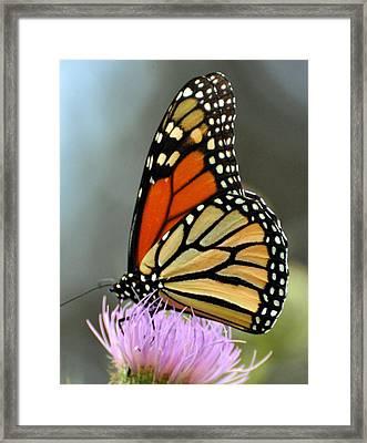 Beautiful Monarch Framed Print by Marty Koch