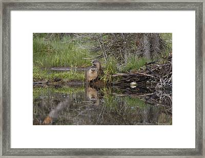 Beaver Pair Framed Print by Charles Warren