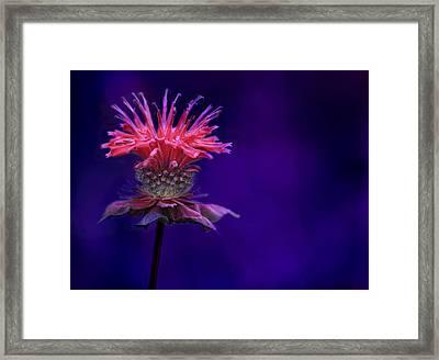 Bee Balm Framed Print by Shelley Neff