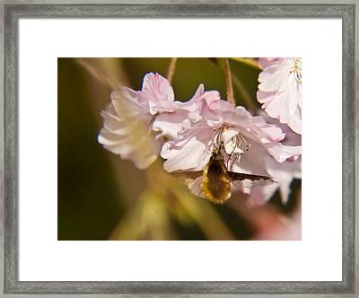 Bee Fly Feeding 1 Framed Print by Douglas Barnett