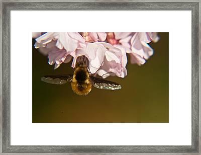 Bee Fly Feeding 5 Framed Print by Douglas Barnett