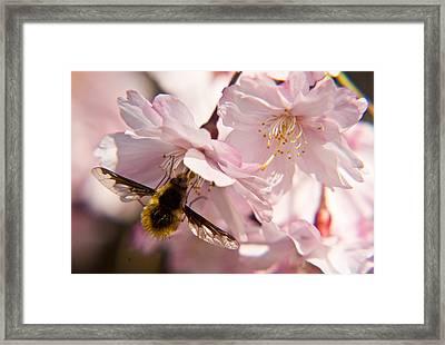 Bee Fly Feeding 6 Framed Print by Douglas Barnett
