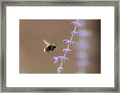 Bee Flying Towards Flowers Framed Print by Darren Moston