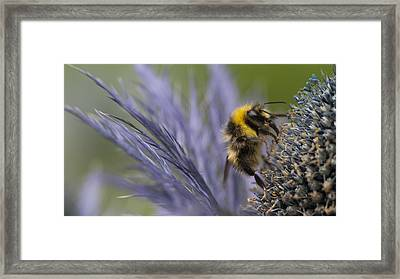 Bee On A Scottish Thistle Framed Print by Zoe Ferrie
