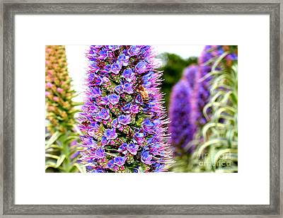 Bee On Purple Pride Of Madeira Flowers . 7d14835 Framed Print by Wingsdomain Art and Photography