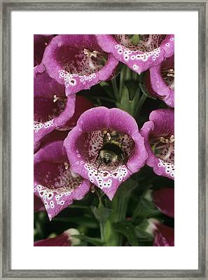 Bee Pollination Framed Print by Dr Jeremy Burgess