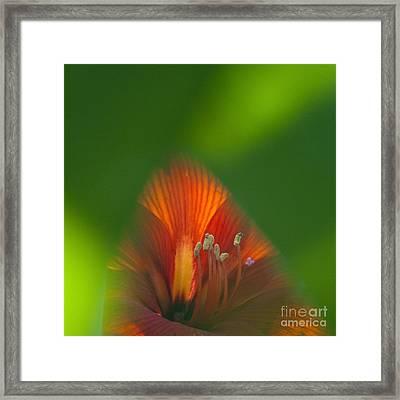 Belladonna Lily Closeup Framed Print by Heiko Koehrer-Wagner