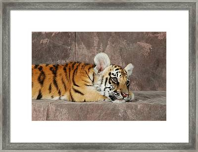 Bengal Cub Framed Print by David Taylor