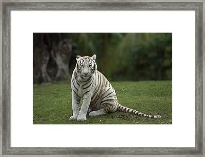 Bengal Tiger Panthera Tigris Tigris Framed Print by Konrad Wothe