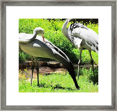 Big Birds Framed Print by Todd Sherlock