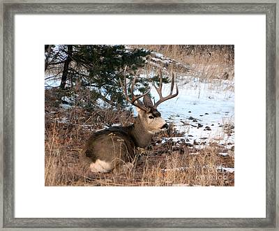 Big Buck At Rest Framed Print by Sara  Mayer
