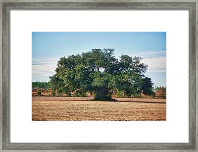 Big Oak In Middle Of Field Framed Print by Michael Thomas