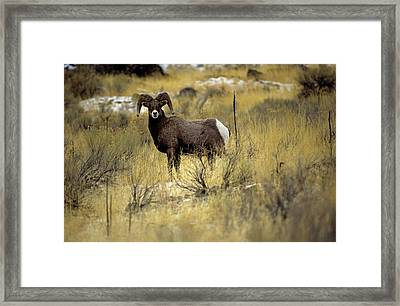 Bighorn Sheep (ovis Canadensis) Framed Print by Altrendo Nature