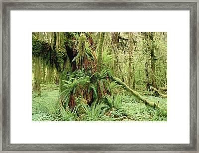 Bigleaf Maple Acer Macrophyllum Trees Framed Print by Gerry Ellis