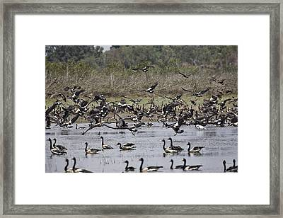 Billabong V11 Framed Print by Douglas Barnard