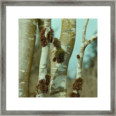 Birch Framed Print by Bonnie Bruno