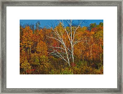 Birch Tree Surrounded By Colorful Framed Print by Mike Grandmailson