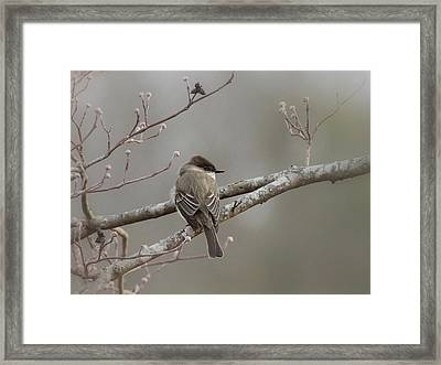 Bird - Eastern Phoebe - Very Contented Framed Print by Travis Truelove