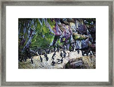Birds At Cape St. Mary's Bird Sanctuary In Newfoundland Framed Print by Elena Elisseeva