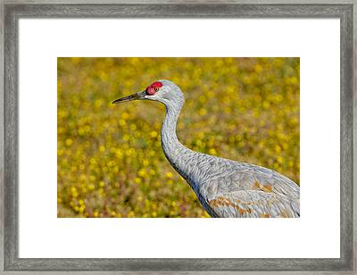 Birds Of Bc - No. 35 - Young Sand Hill Crane Framed Print by Paul W Sharpe Aka Wizard of Wonders
